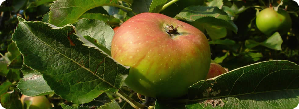 bramley apples on tree